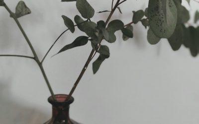 L'eucalyptus, un allié pour plus d'authenticité
